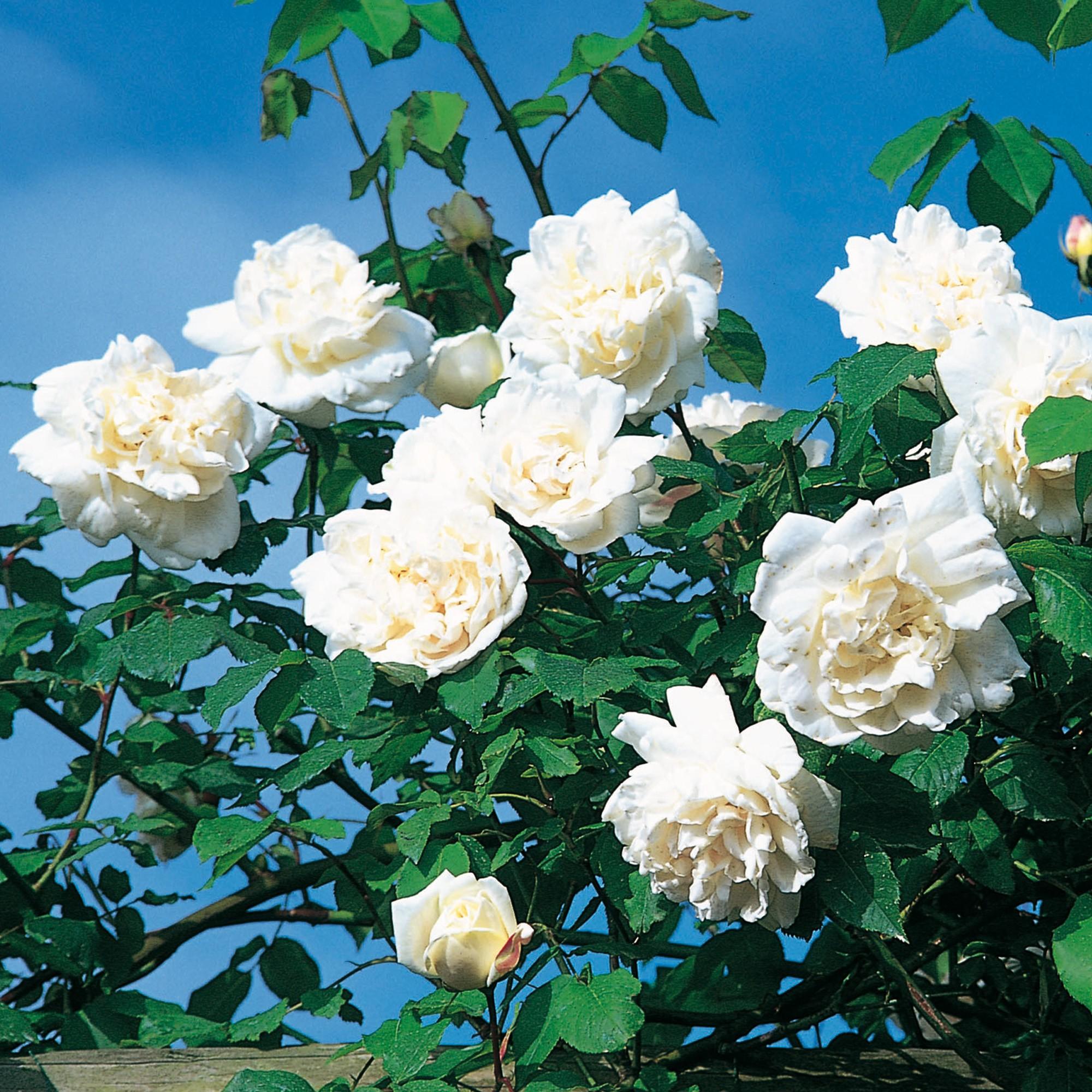 Những bông hồng trắng cực đẹp