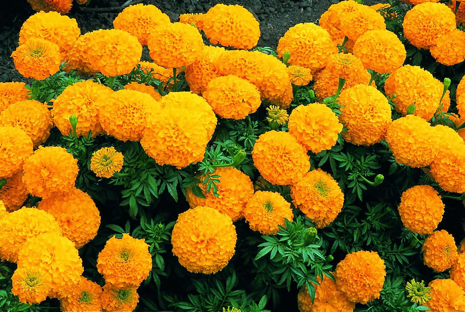 Những bụi hoa cúc vạn thọ cực xinh đẹp