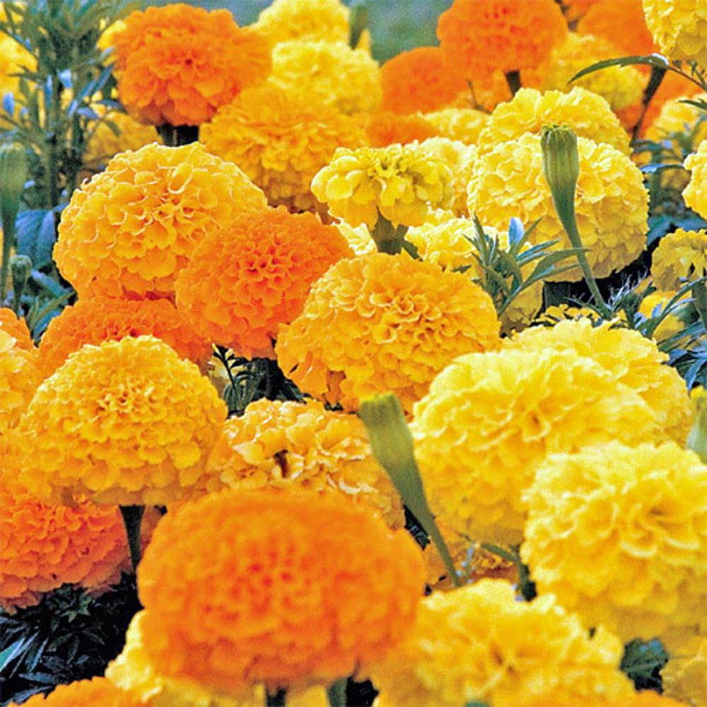 Những bụi hoa cúc vạn thọ màu vàng màu cam