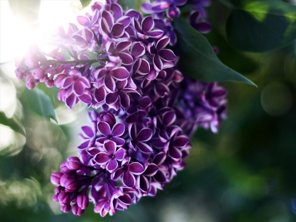 Những bụi hoa tử đinh hương cực đẹp