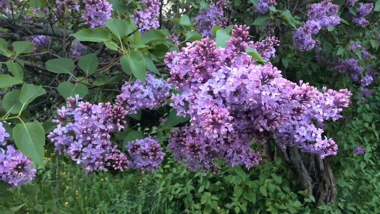 Những bụi hoa tử đinh hương tím đẹp