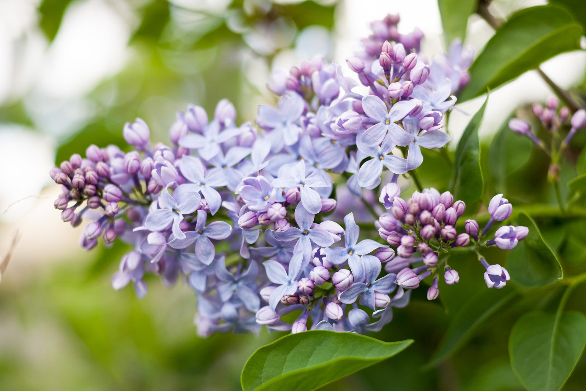 Những bụi hoa tử đinh hương tím nhạt cực đẹp