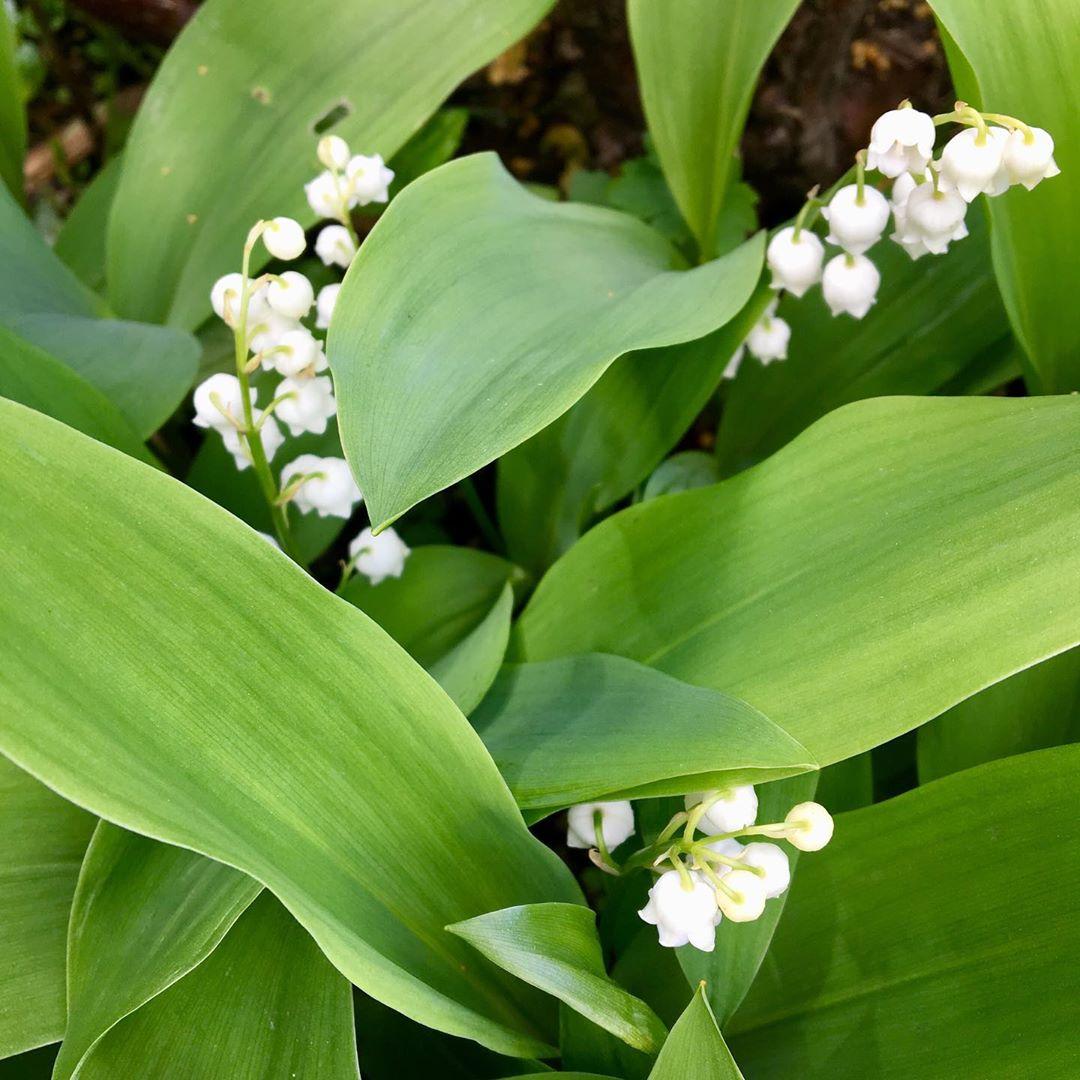 Những cành hoa lan chuông lấy ló sau tán lá