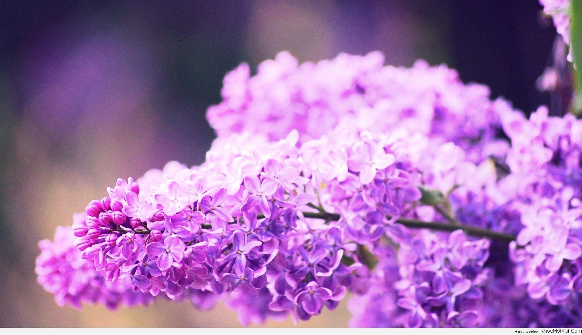 Những cành hoa tử đinh hương tím cực đẹp