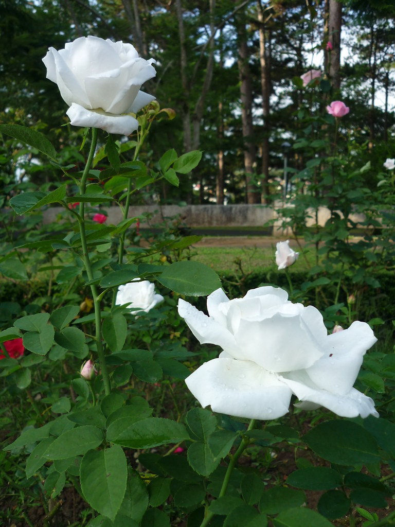 Những cành hồng trắng mọc trong vườn