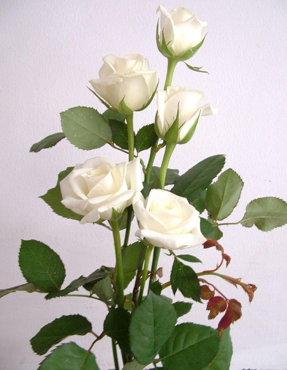 Những cành hồng trắng