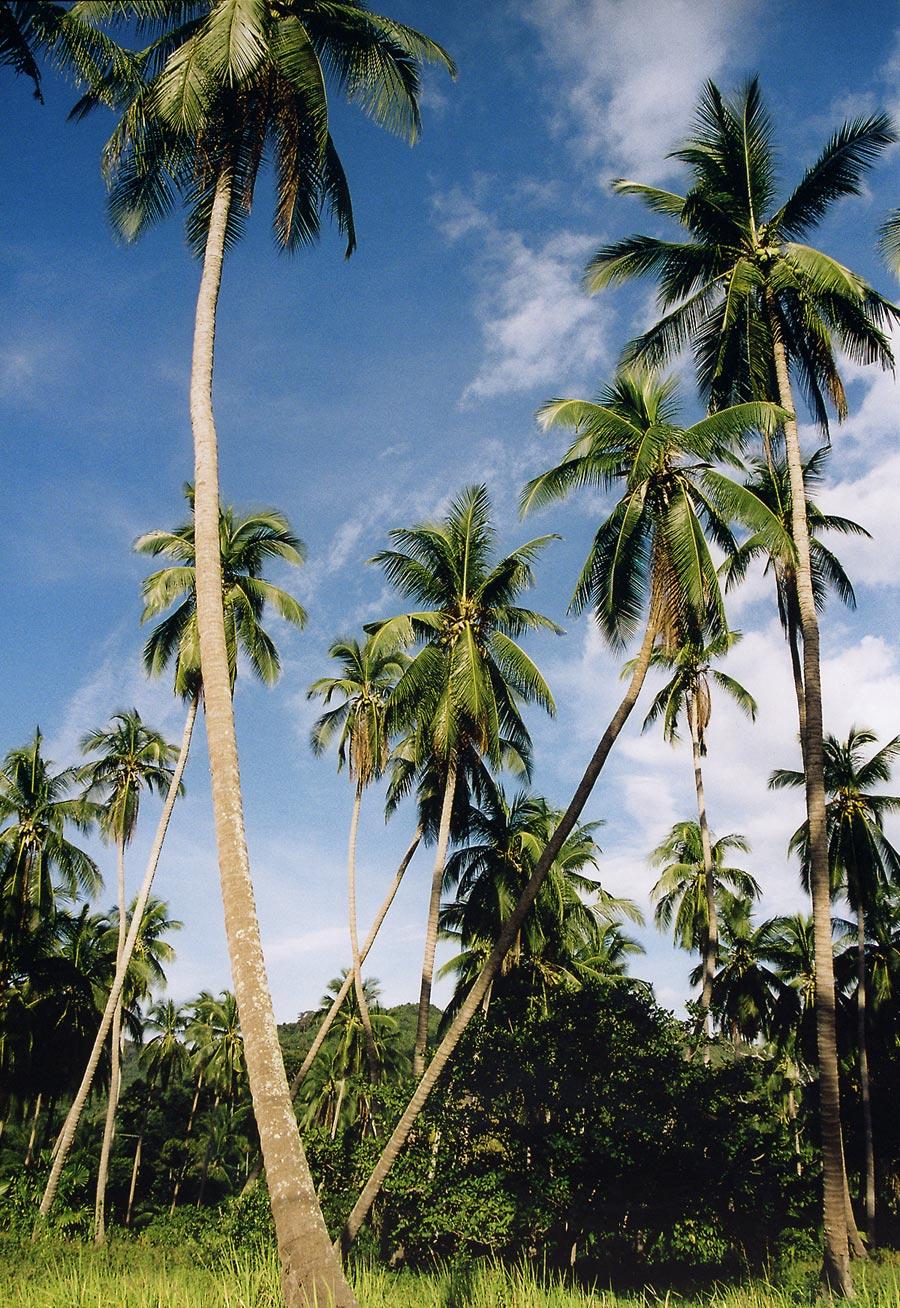 Những cây dừa cao lớn thật đẹp