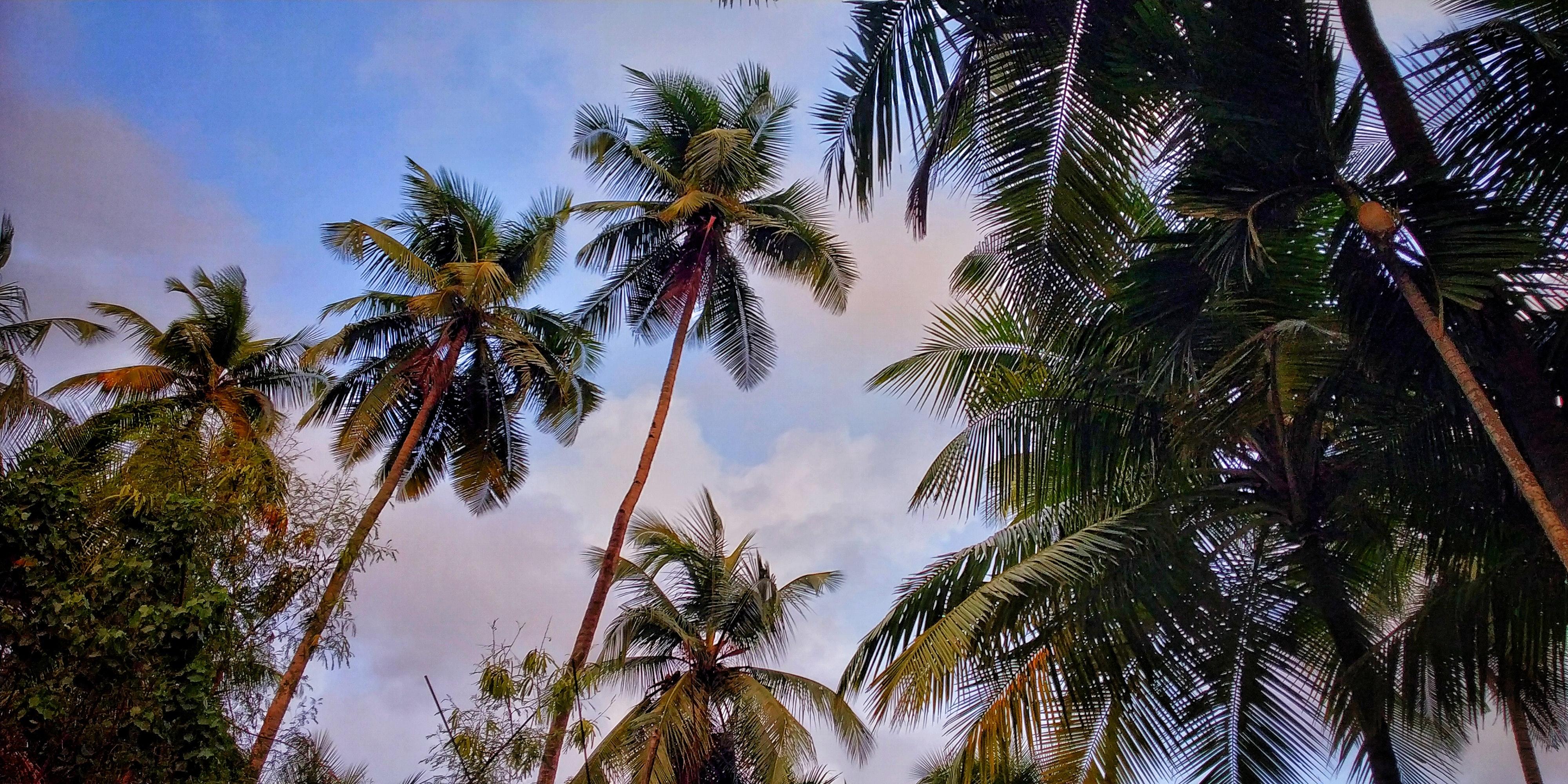 Những cây dừa cao tận trời thật đẹp
