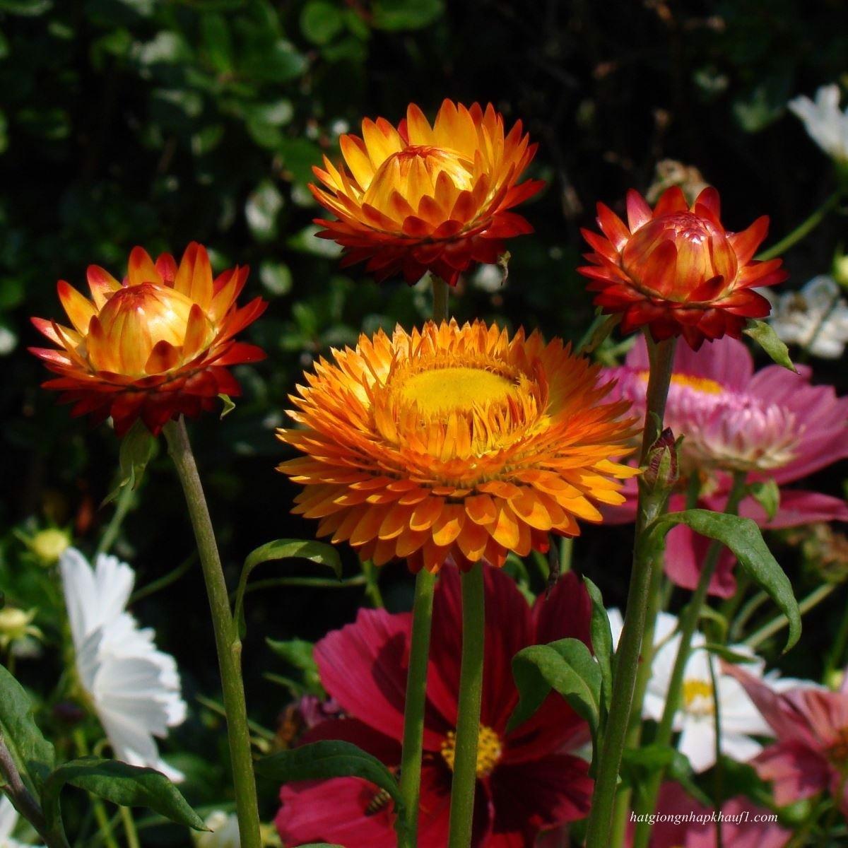 Những cây hoa bất tử vàng cam đỏ cực đẹp