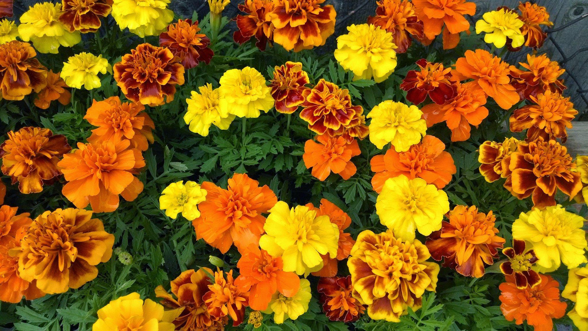Những cây hoa cúc vạn thọ cực đẹp rất đẹp