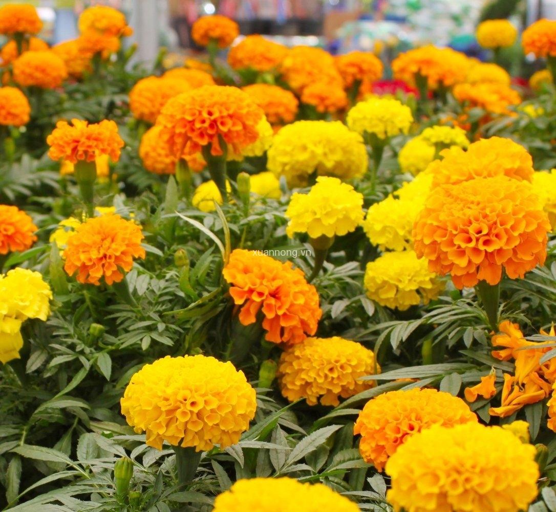 Những cây hoa cúc vạn thọ cực đẹp