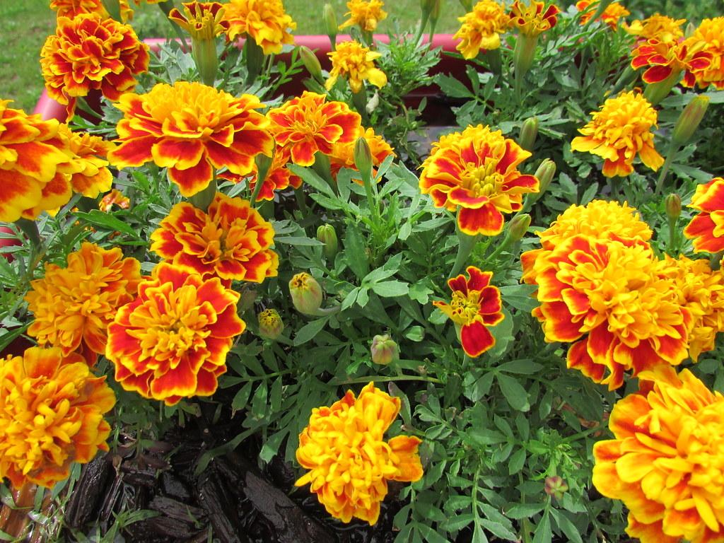 Những cây hoa cúc vạn thọ Pháp cực đẹp