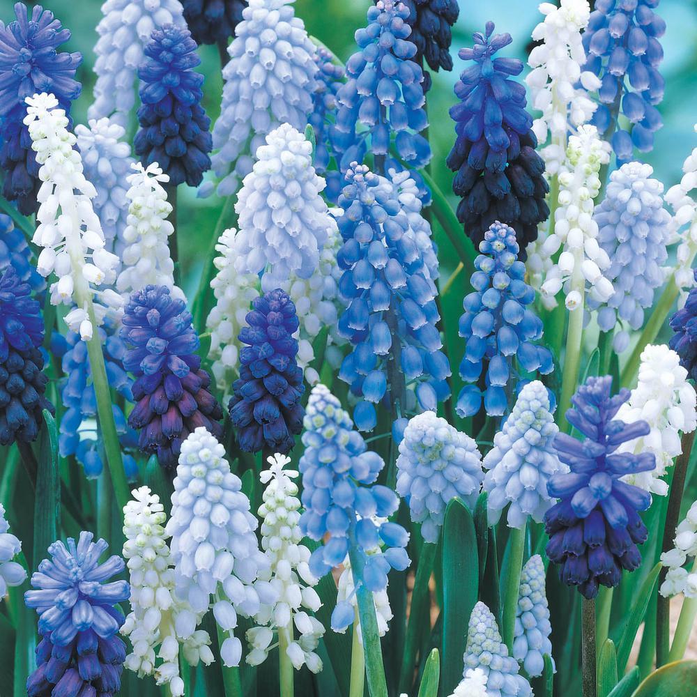 Những cây hoa tiên ông xanh trắng đan xen cực đẹp