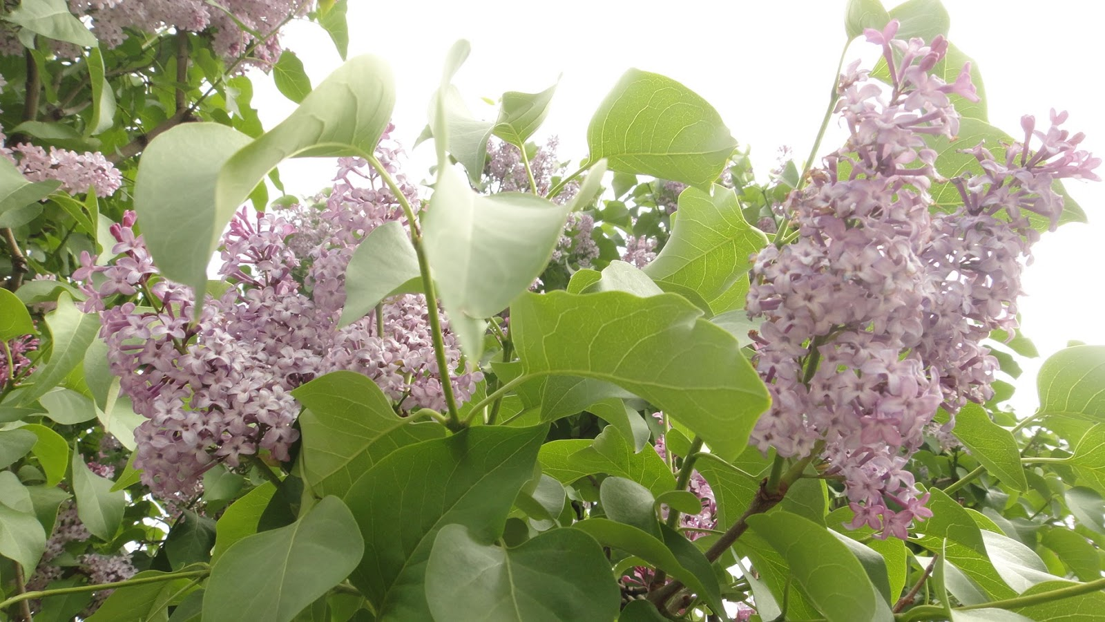 Những cây tử đinh hương nở hoa rất nhiều