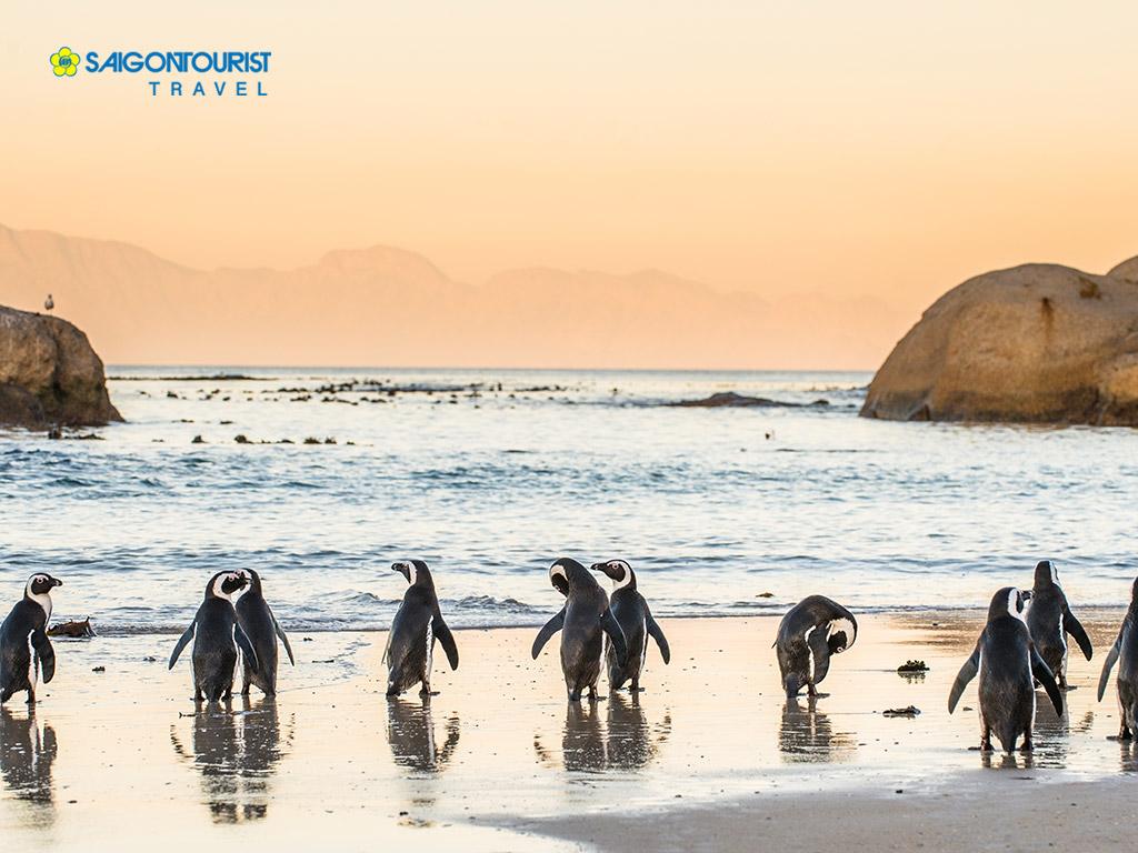 Những chsu chim cánh cụt Nam Phi trên bãi biển