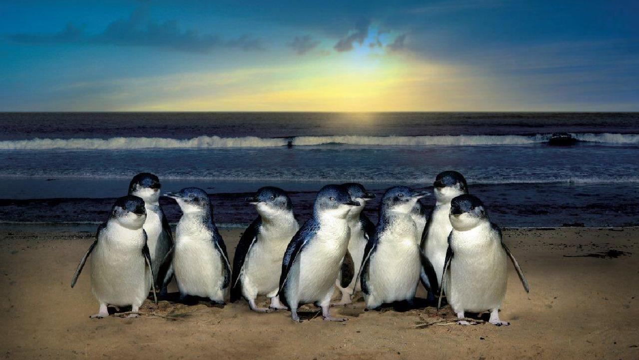 Những chú chim cánh cụt con của nước Úc