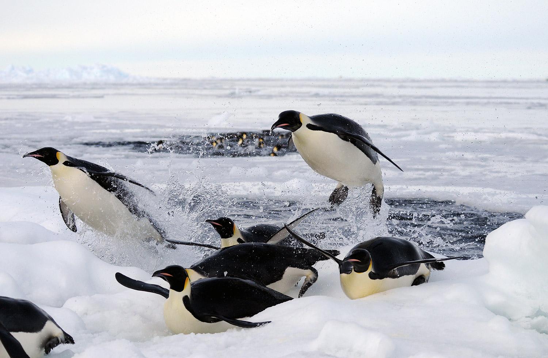 Những chú chim cánh cụt lao ra khỏi mặt nước