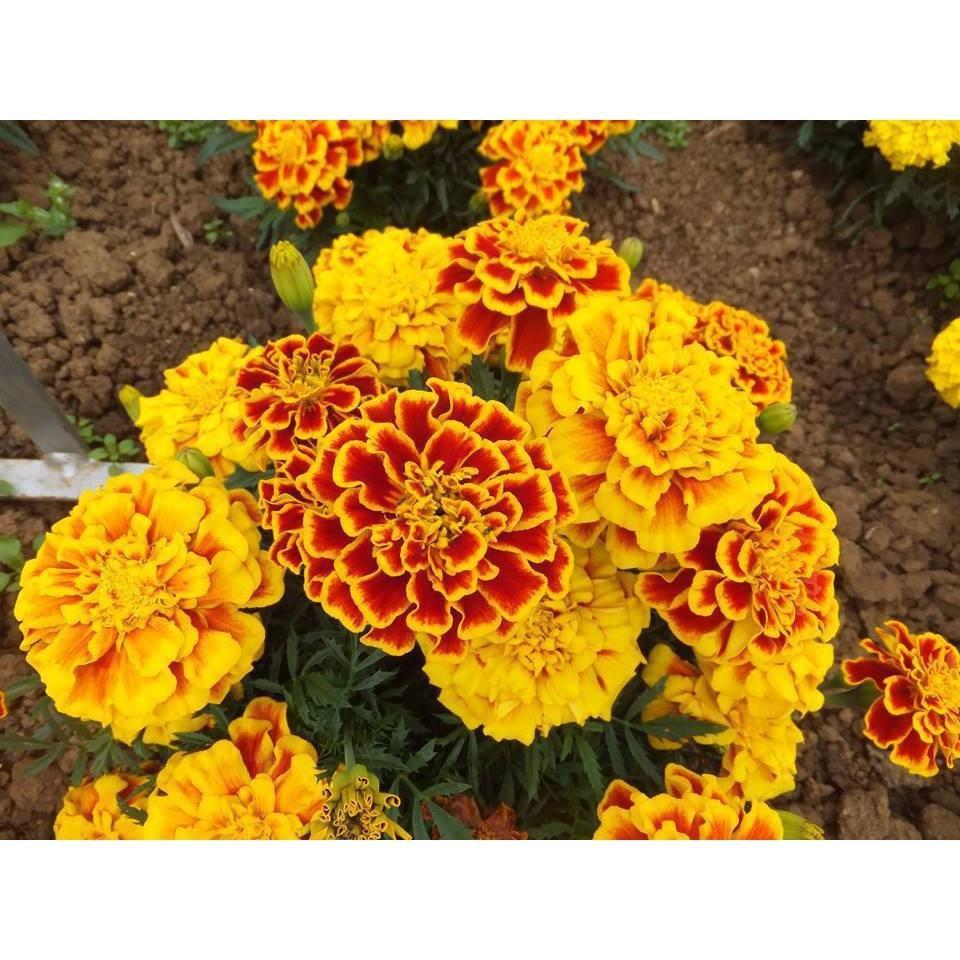 Những gốc cây hoa cúc vạn thọ cực đẹp
