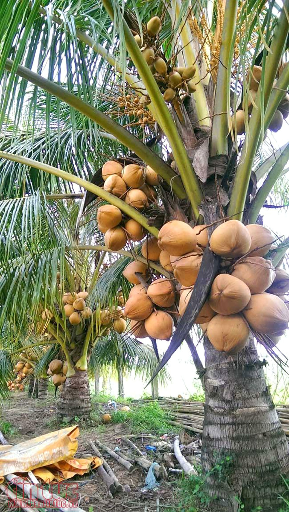Những gốc dừa lùn sai trĩu quả