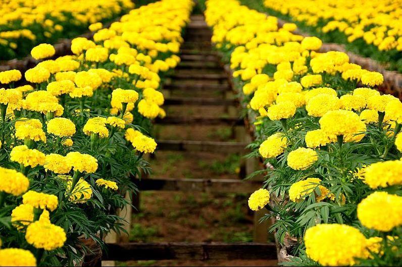 Những hàng bông cúc vạn thọ vàng đẹp
