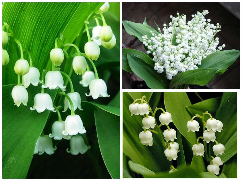 Những hình ảnh của bông hoa lan chuông