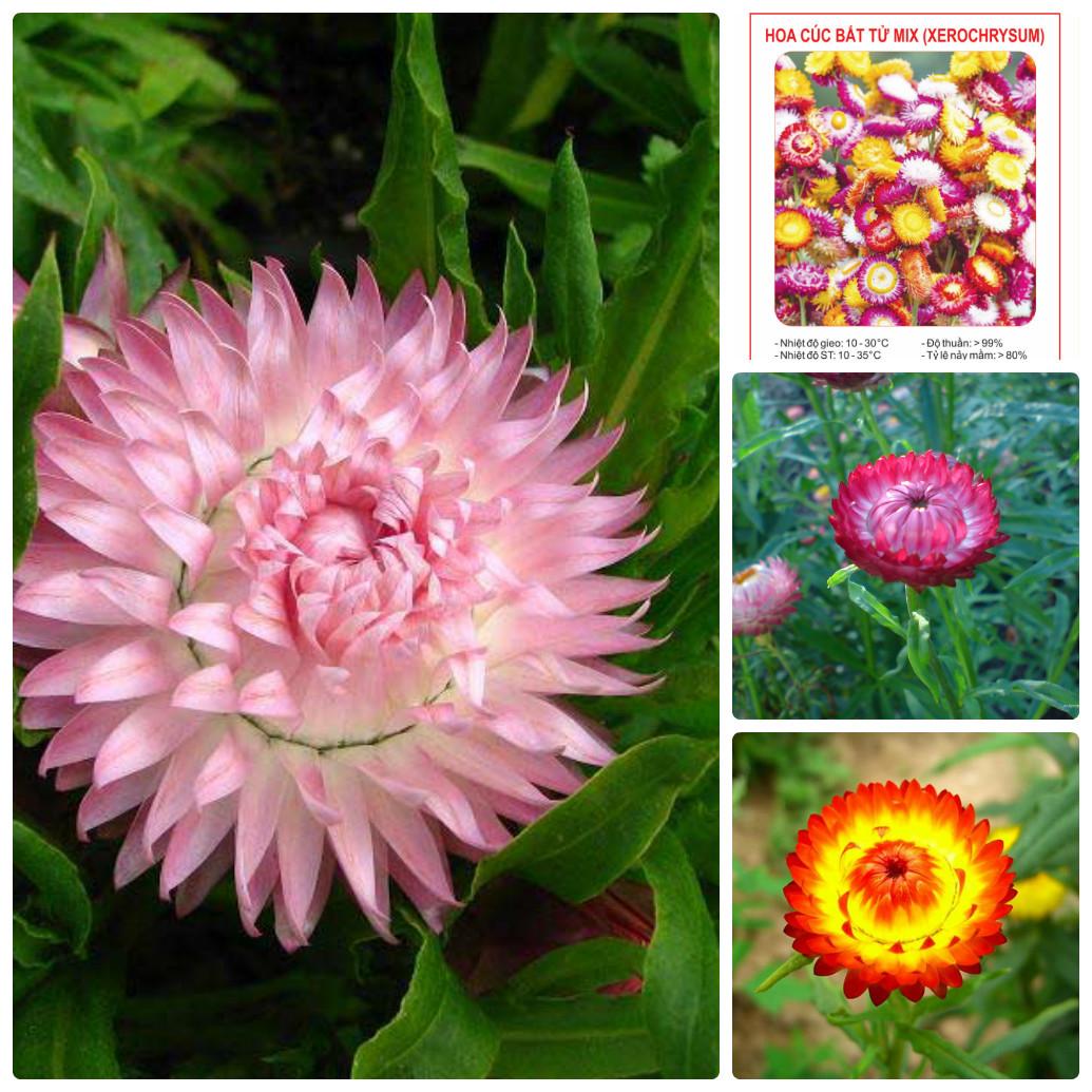 Những hình ảnh hoa bất tử cực đẹp