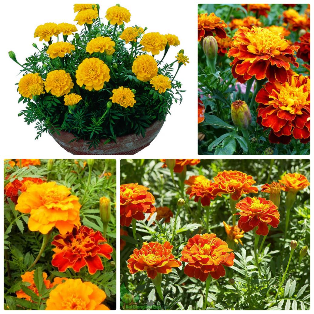 Những hình ảnh hoa cúc vạn thọ cực đẹp