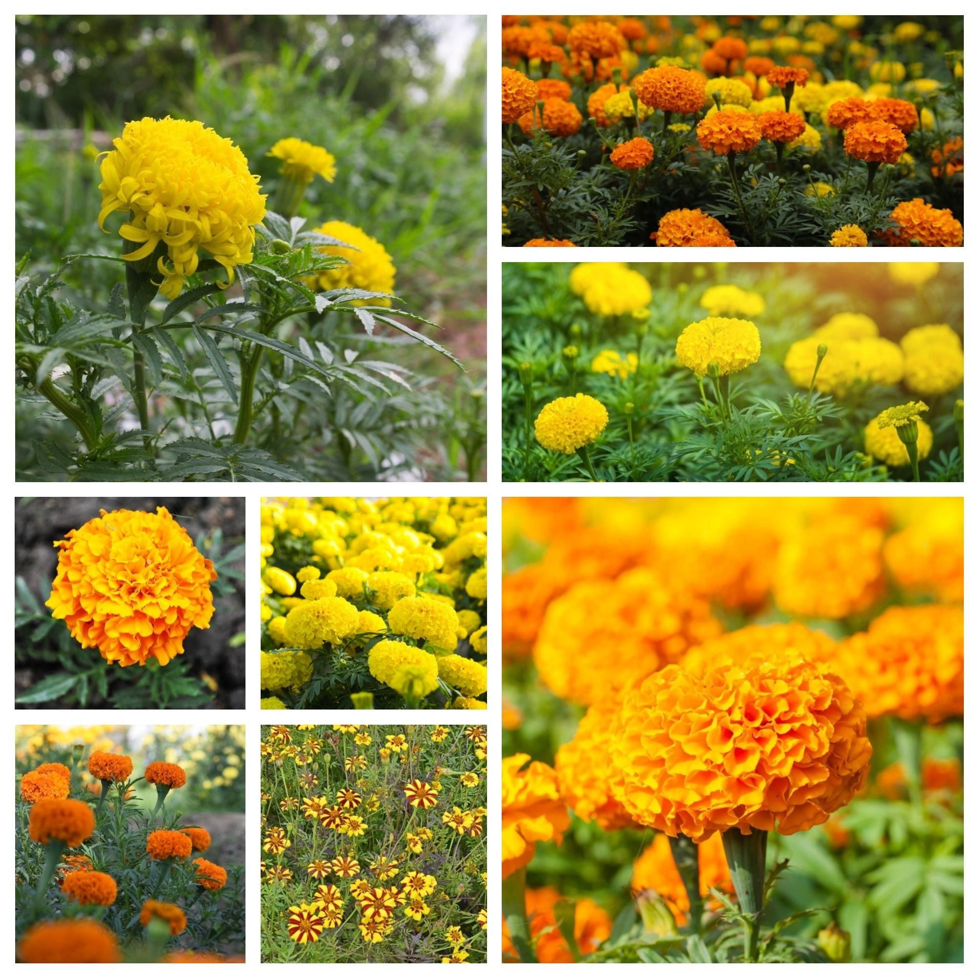 Những hình ảnh hoa cúc vạn thọ Mexico cực đẹp