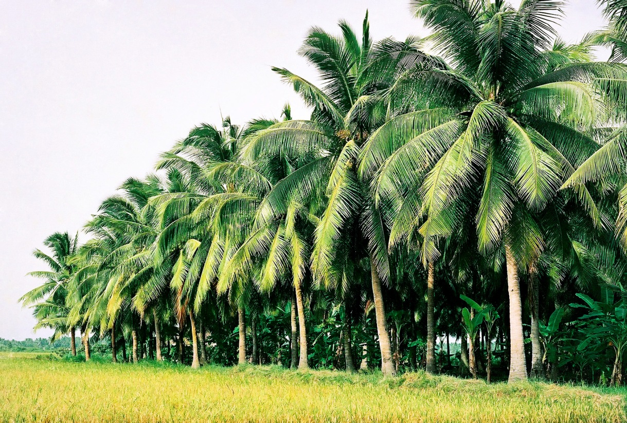 Những rặng cây dừa cực đẹp