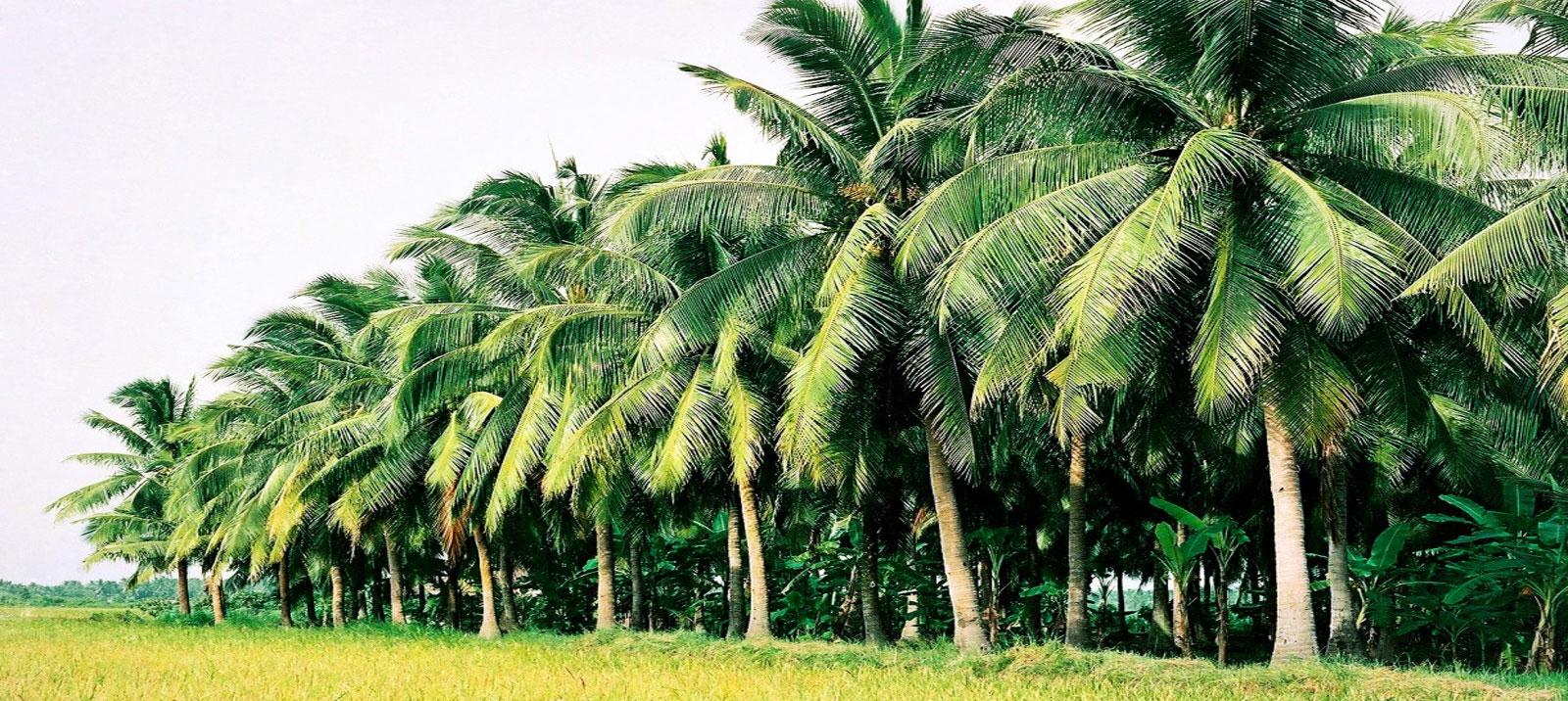 Những rặng dừa xanh cực đẹp