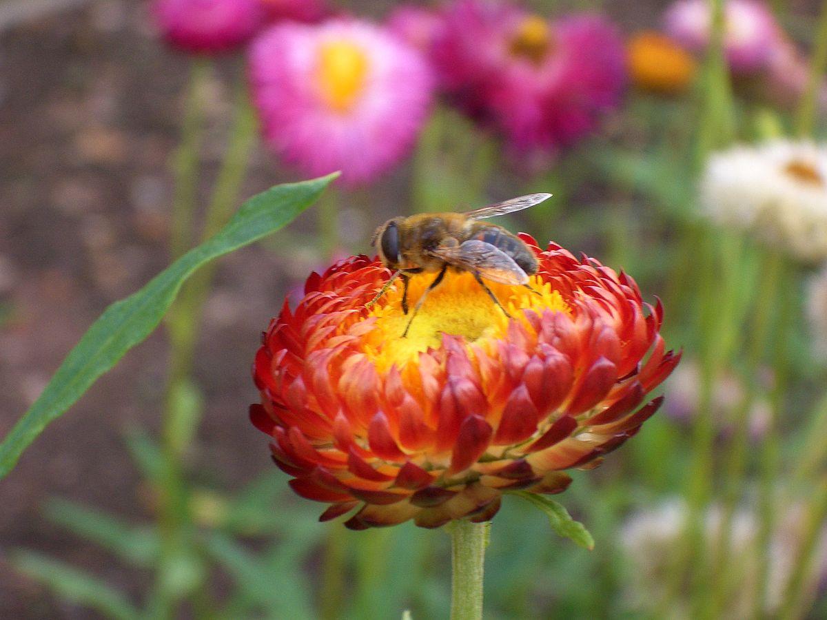 Ong đậu trên bông hoa bất tử xinh đẹp