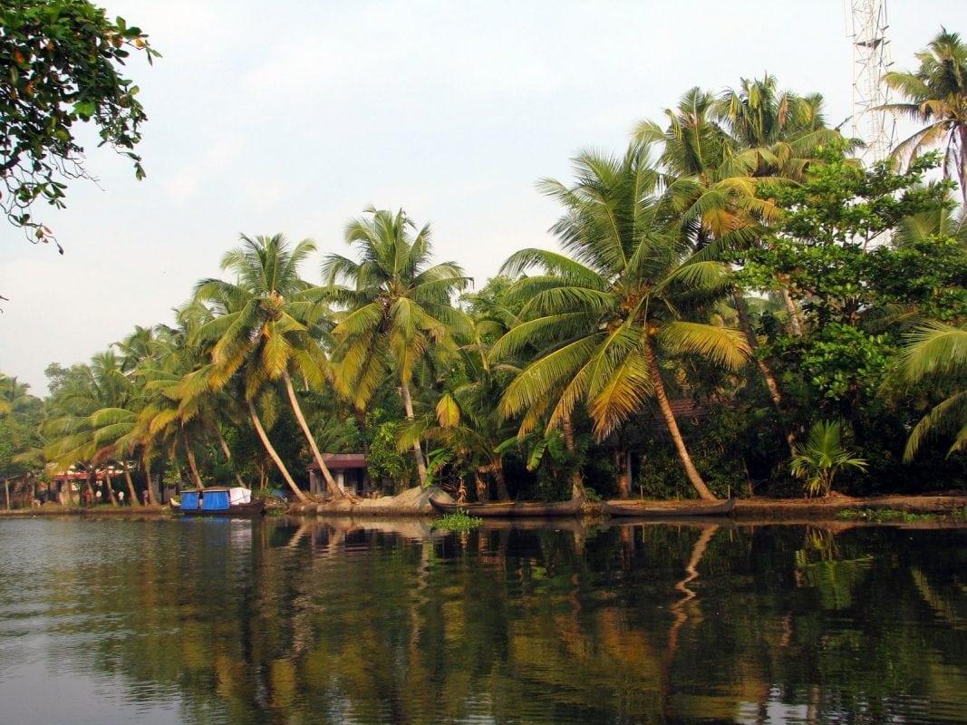 Rất nhiều cây dừa mọc thành rừng