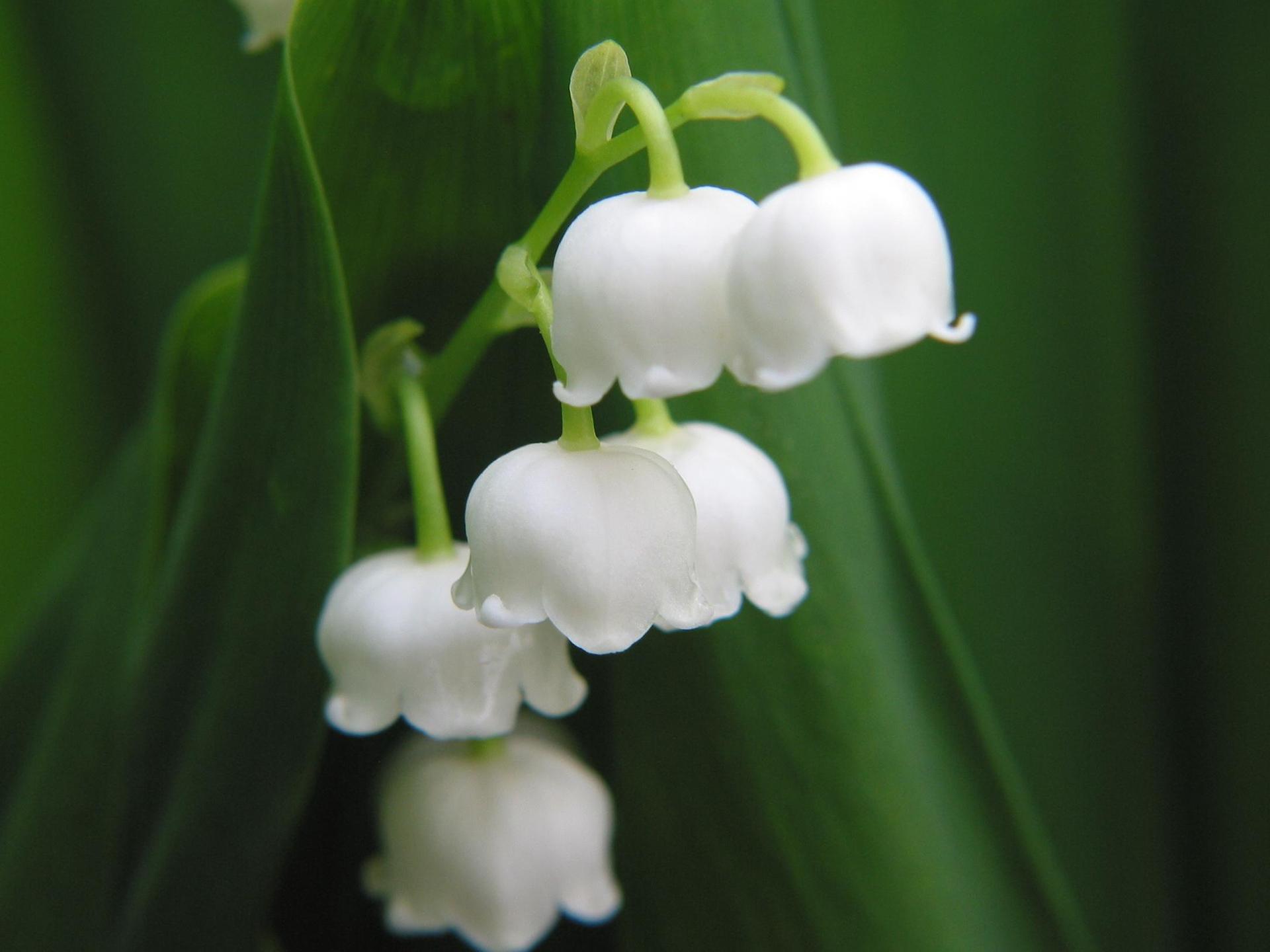 Sáu bông hoa lan chuông chung một cành cực đẹp