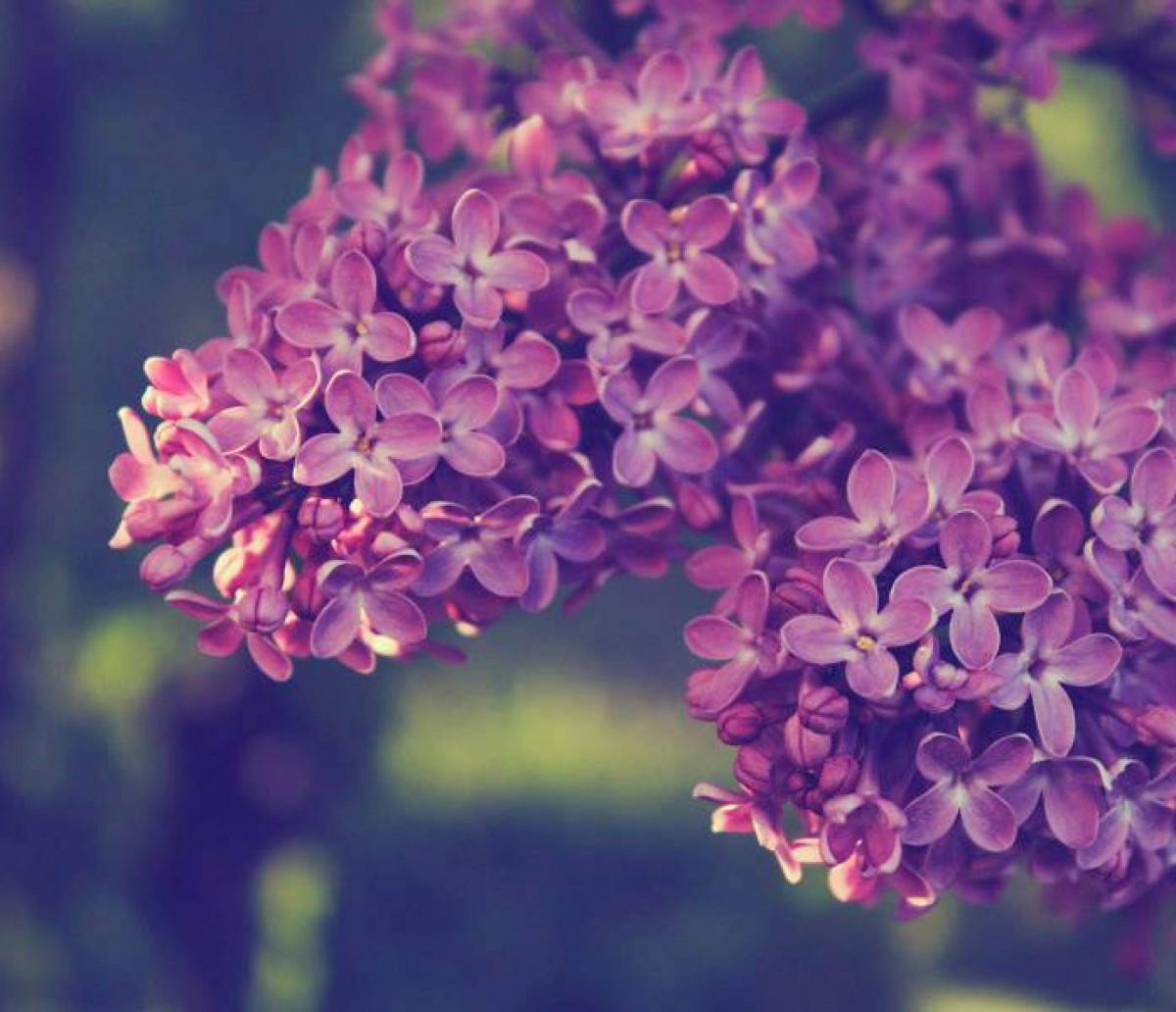 Tán hoa tử đinh hương cực đẹp
