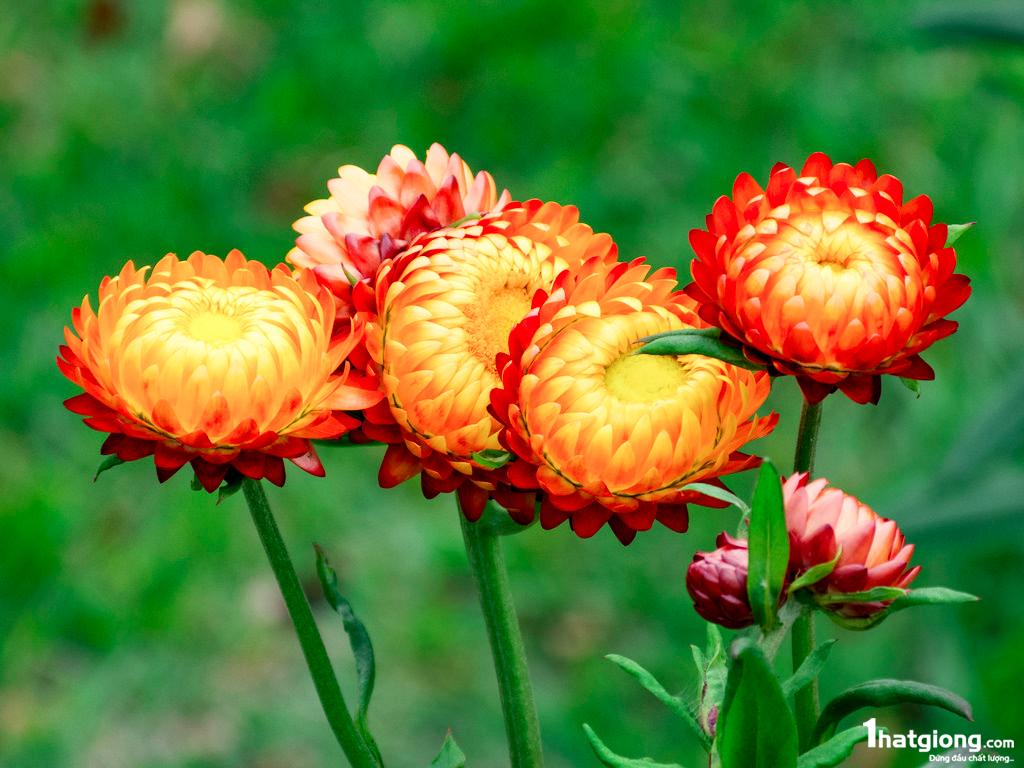 Vài bông hoa bất tử trong vườn