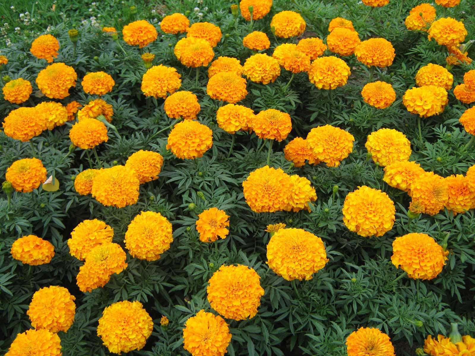 Vườn cây nở rộ những bông cúc vạn thọ
