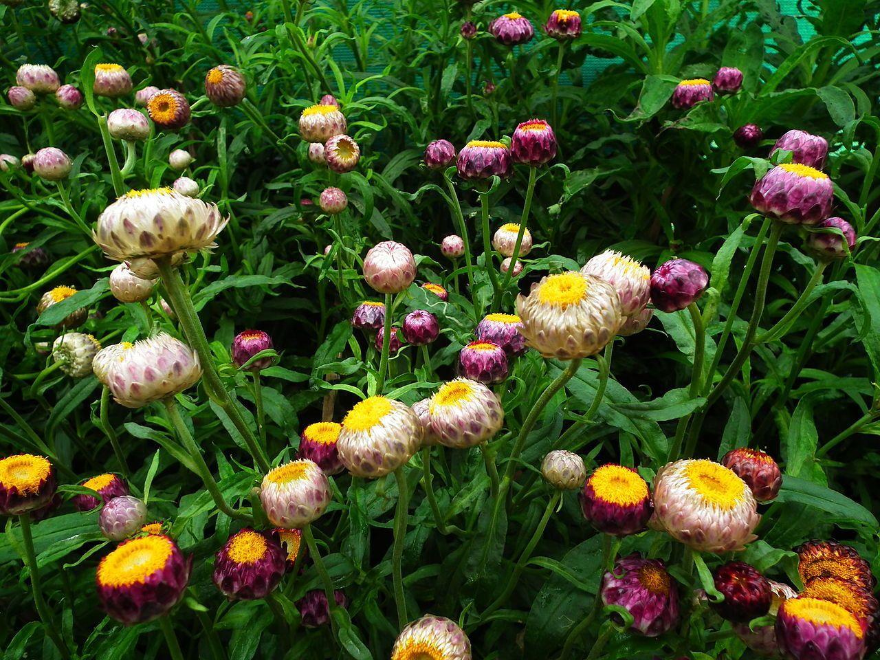 Vườn hoa bất tử ở Đà Lạt còn chưa rộ bông