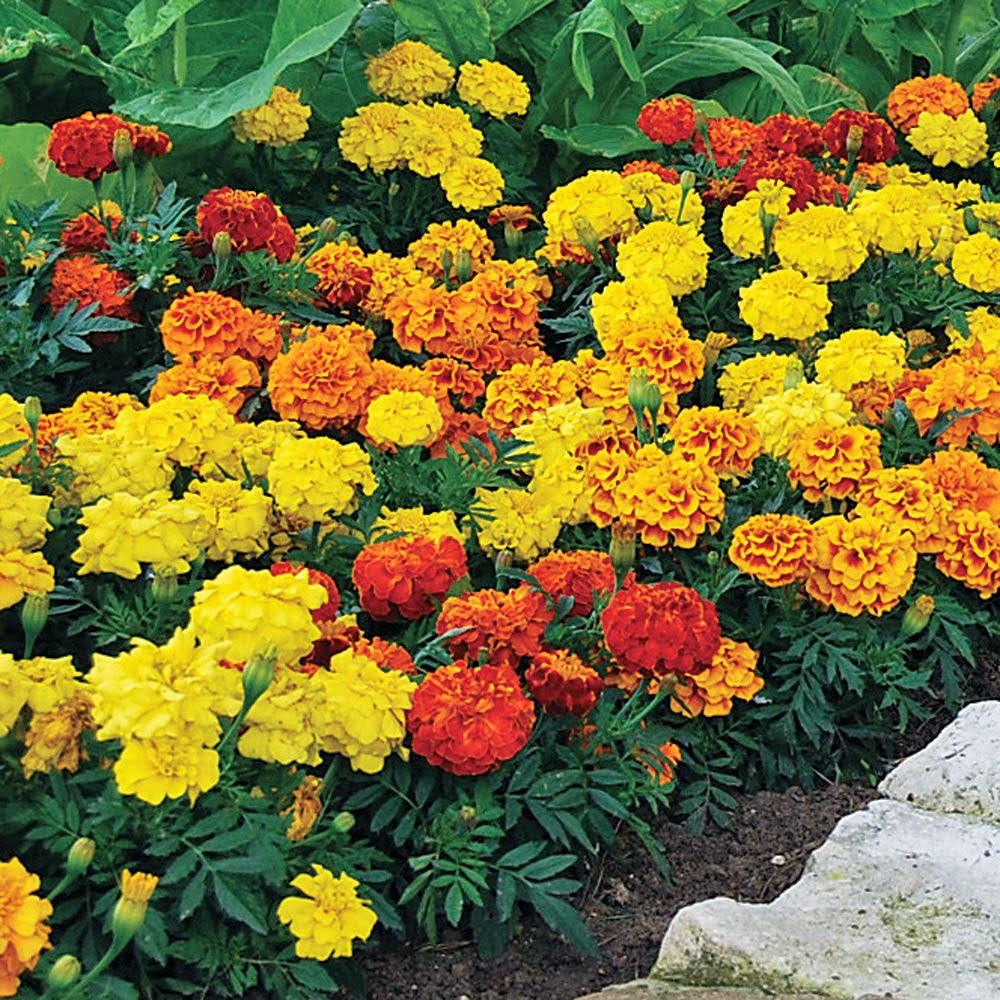 Vườn hoa cúc vạn thọ màu vàng màu màu cam cực đẹp