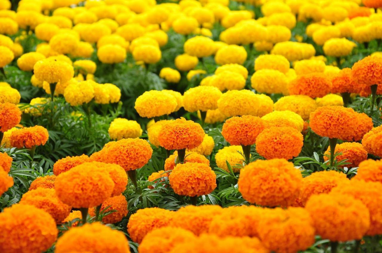Vườn hoa cúc vạn thỏ vàng cam cực đẹp