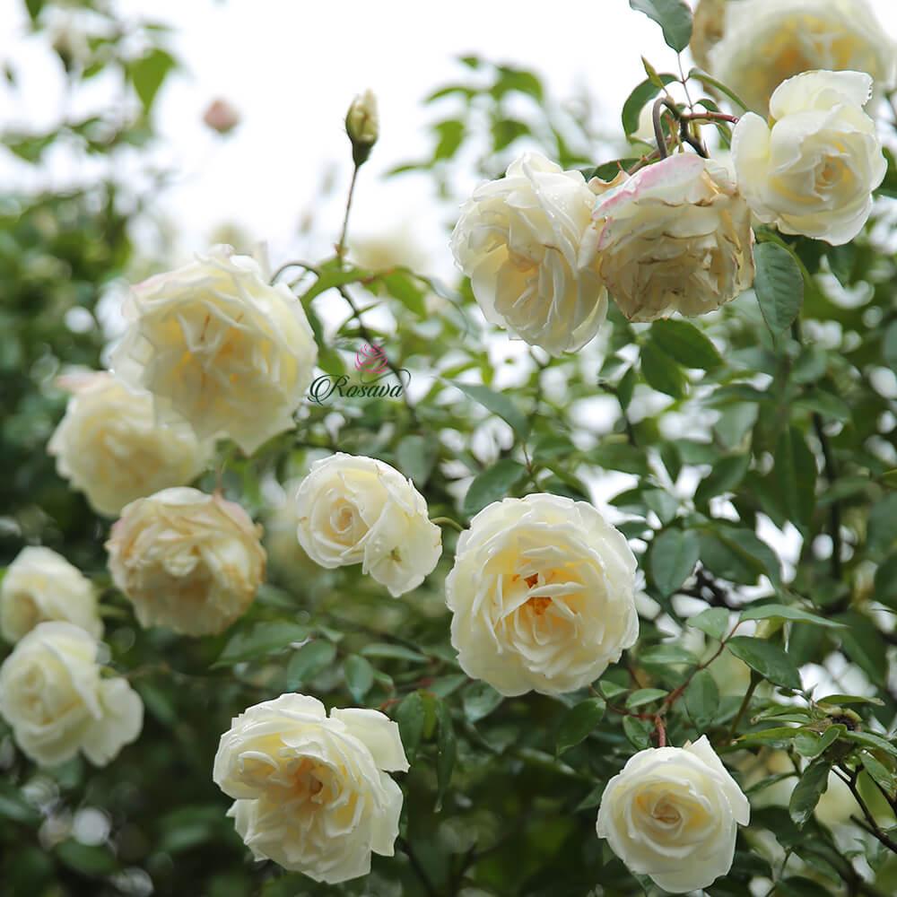 Vườn hoa hồng cực xinh đẹp toàn những bông hồng trắng
