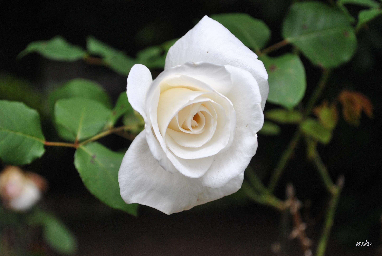 Vườn hoa hồng trắng cực kỳ đẹp