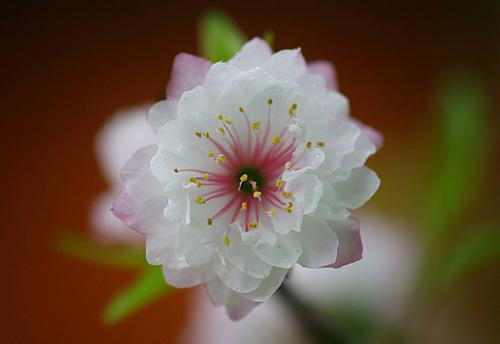 Bông hoa mai cánh trắng tâm hồng cực đẹp