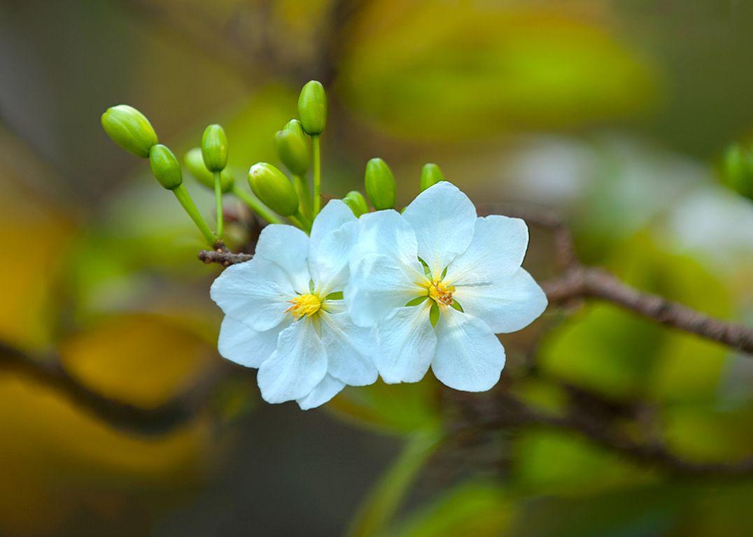 Bông hoa mai trắng để cạnh nhau