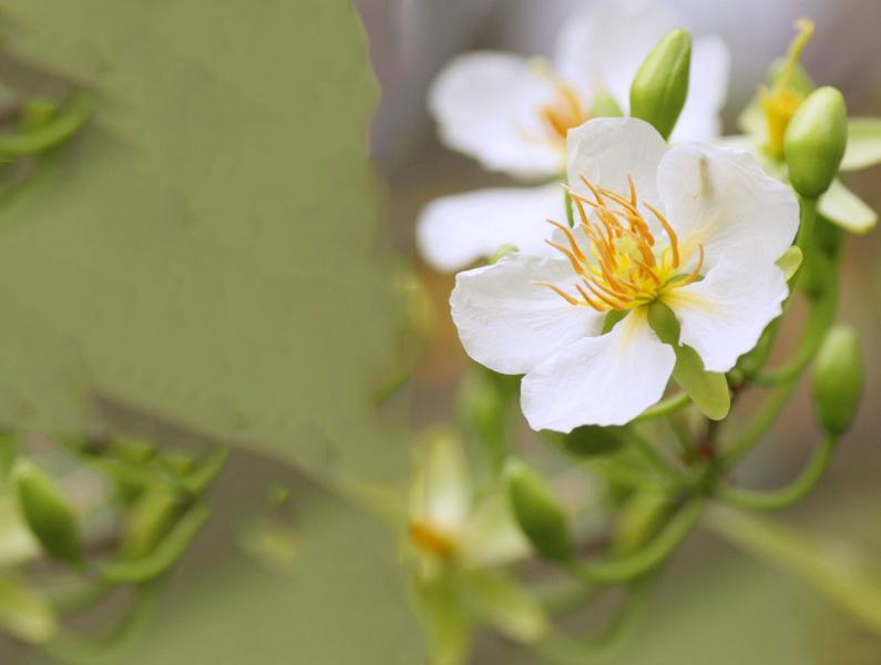 Bông hoa mai trắng nhìn hơi nghiêng
