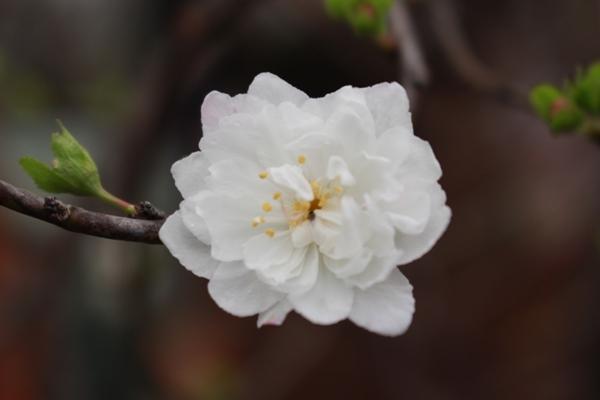 Bông hoa mai trắng rất đẹp