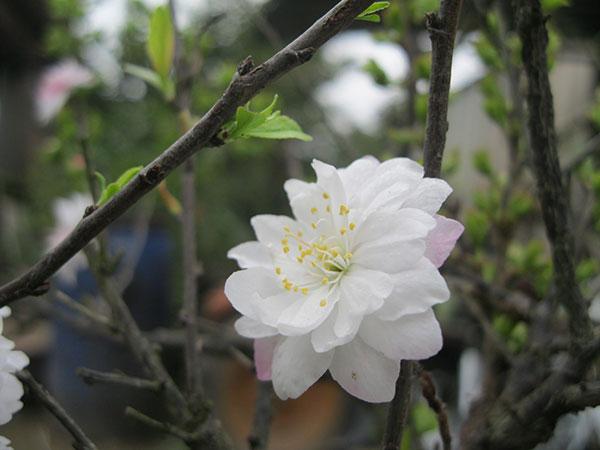 Bông hoa mai trắng trên cành đẹp