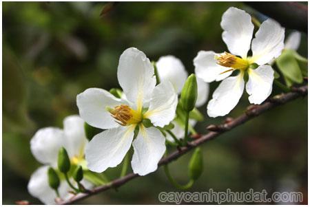 Cành cây hoa mai trắng đẹp