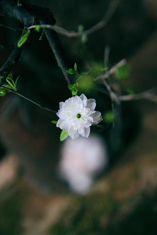 Cây mai trắng mọc bông hoa rất đẹp
