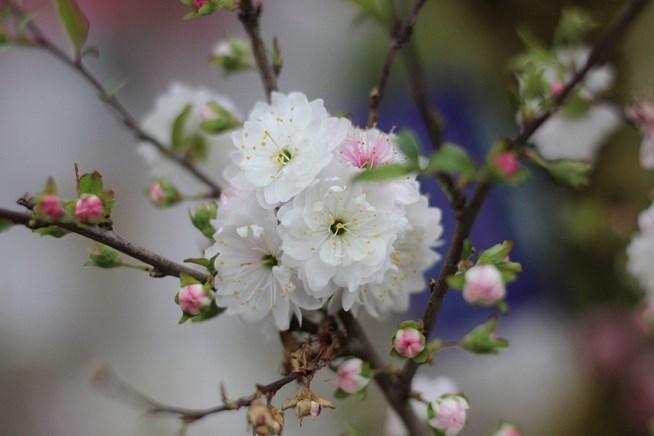 Chùm hoa mai trắng cực đẹp mắt