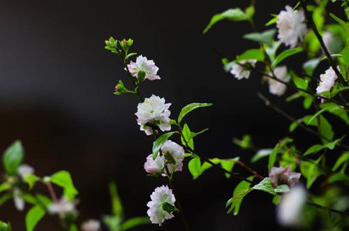 Cnàh hoa mai trắng cực đẹp